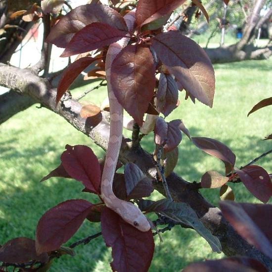 Hypomelanistic Lavender (67)