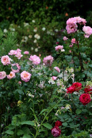 Les Roses de Warren : Child of Charlotte