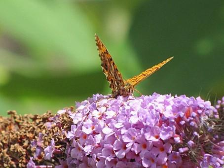 les-papillons-5520.JPG