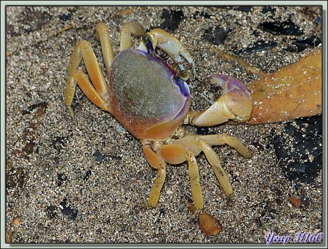Blog de images-du-pays-des-ours : Images du Pays des Ours (et d'ailleurs ...), Crabes colorés - Playa Cocles - Puerto Viejo de Talamanca - Costa Rica
