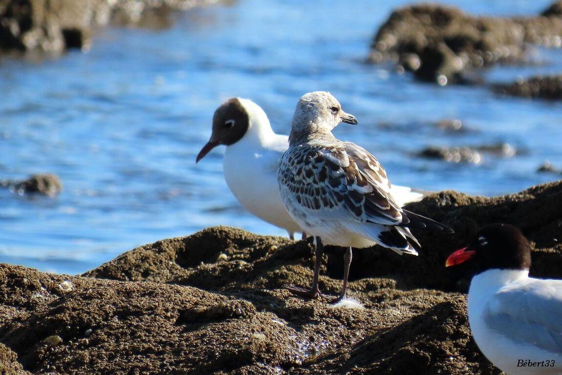des oiseaux à Piriac