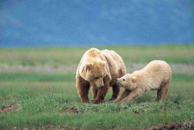 Bébé grizzly et sa maman