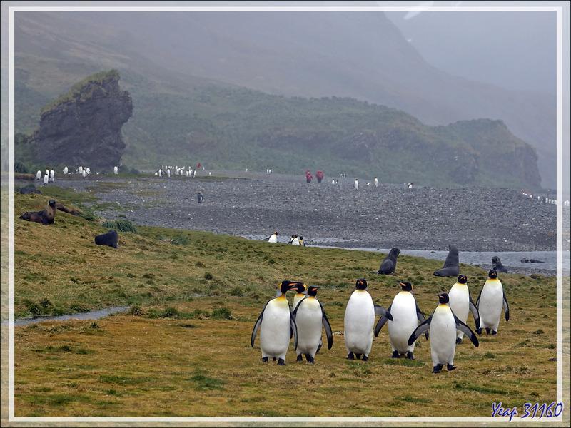 """Le temps se gâte à vitesse V, les """"pingouins rouges"""" rentrent en se frayant un chemin au milieu des divers animaux : manchots, otaries, éléphants de mer - Whistle Cove - Fortuna Bay - Géorgie du Sud"""