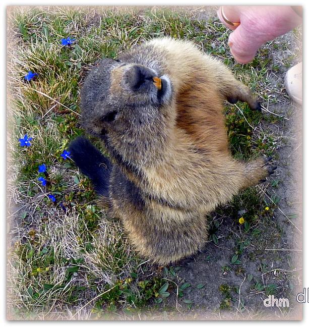 La marmotte des alpes autrichiennes