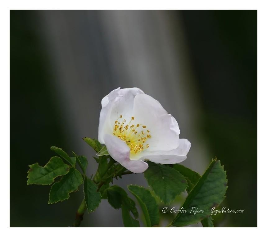 Lumière divine sur rose sauvage