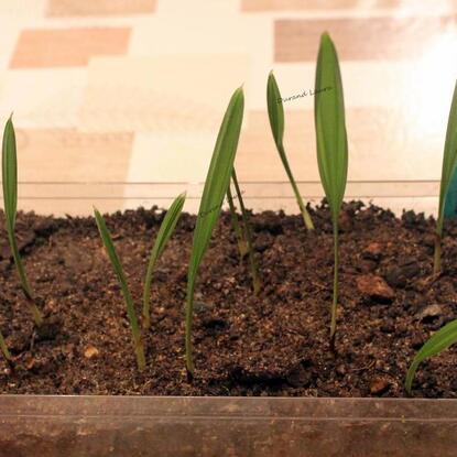 Palmiers ou Arecaceae - Semisd'une variété qui résiste au froid