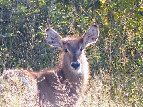 parc naturel Krüger; un groupe d'antilopes
