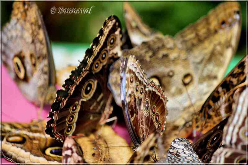 Papillons tropicaux Morpho helenor peleides