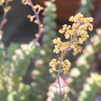 Crassula Perforata - La fleur