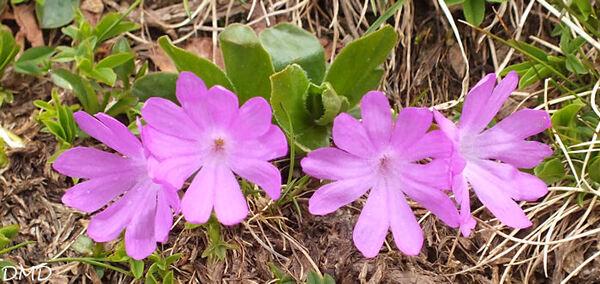 Primula integrifolia  -  primevère à feuilles entières