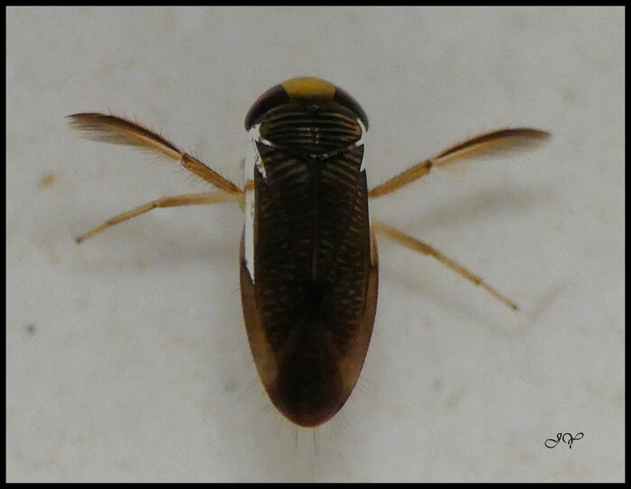 Corixidae.