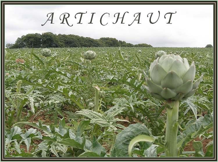Vertus des Plantes Médicinales : ARTICHAUT