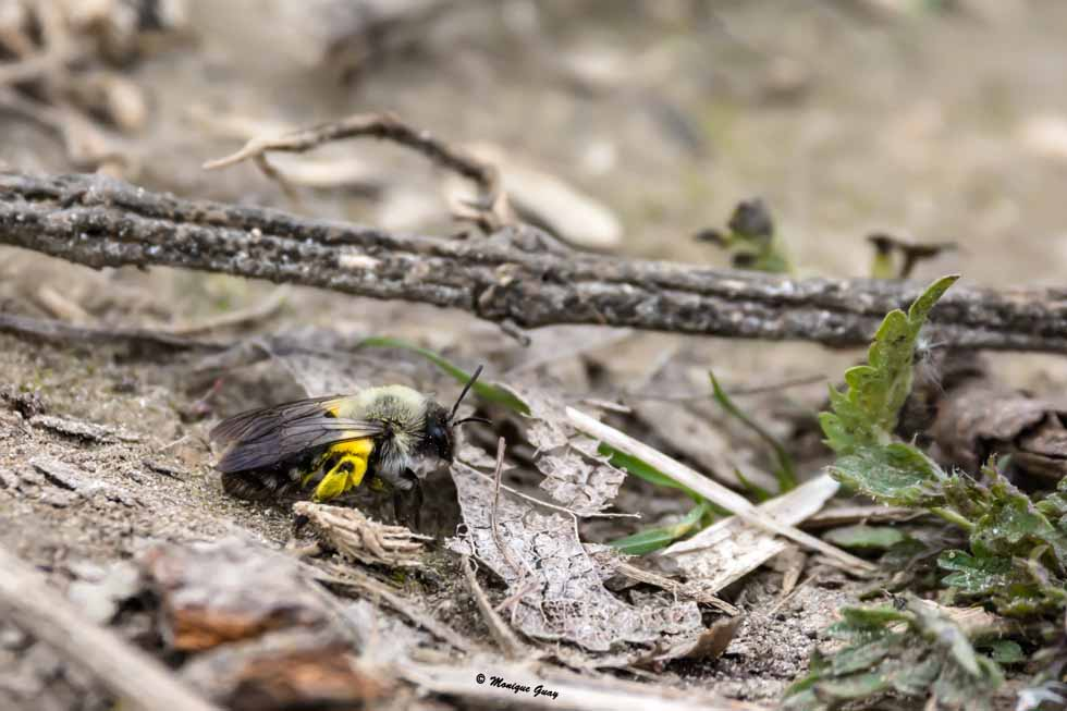 Bombus bohemicus aux pattes jaunes