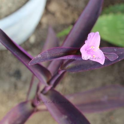 Tradescantia Pallida ou Misère Pourpre en fleur