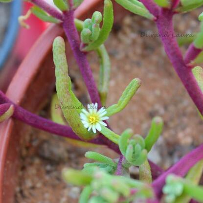 Succulente n°2 en provenance du Maroc