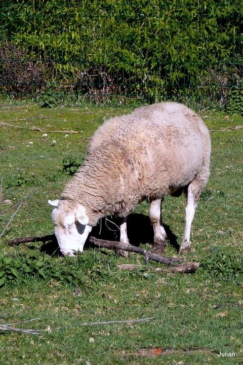O31---Un-mouton.JPG