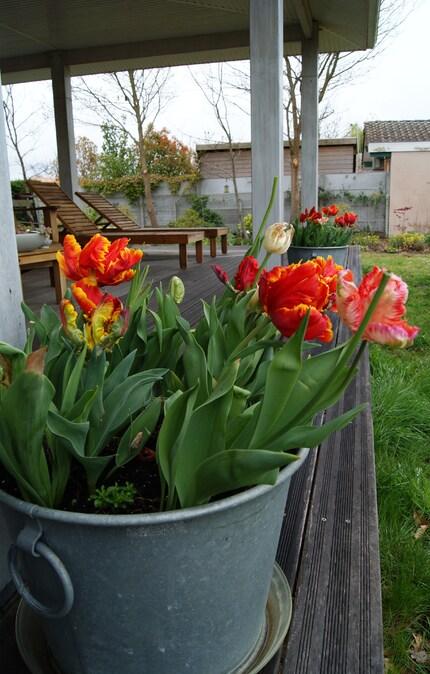 Sachet de tulipes en mélange.