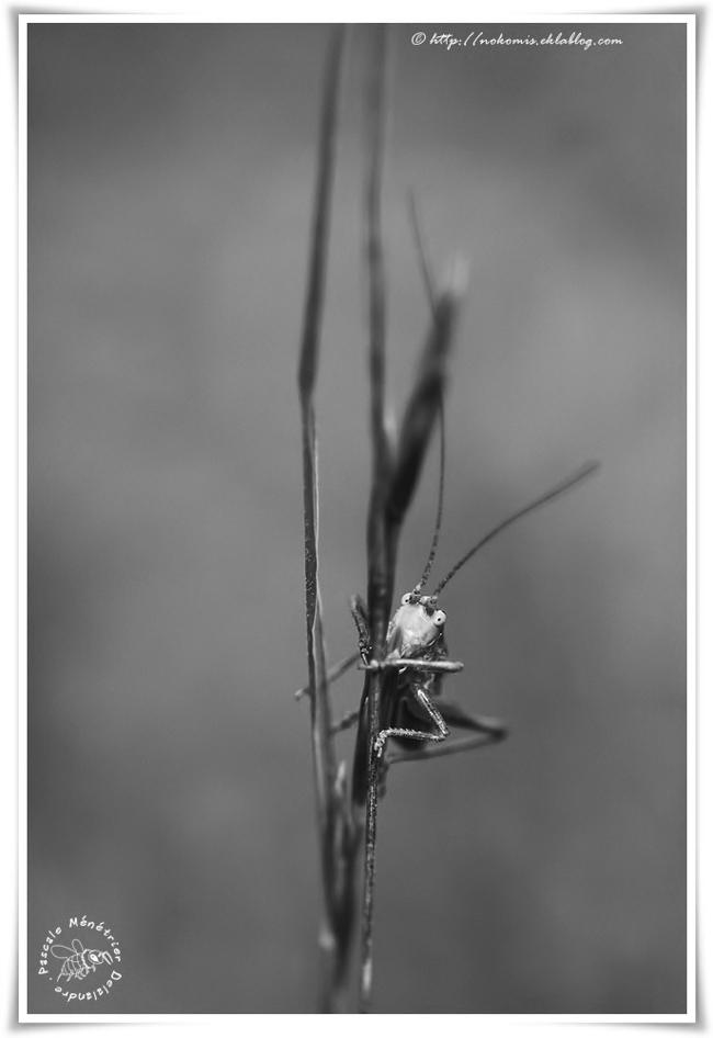 Grande sauterelle verte juvénile (Tettigonia viridissima)