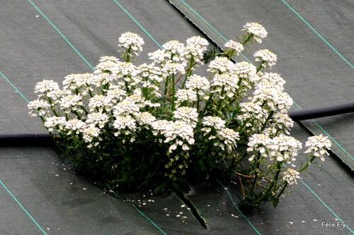 Des fleurs blanches : corbeille d'argent ?