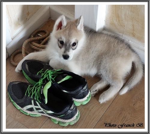 Des Huskys bien chaussés !