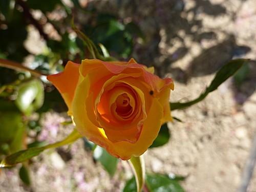 premiere-rose-009.jpg