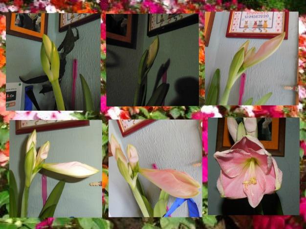 Mon amaryllis...rose