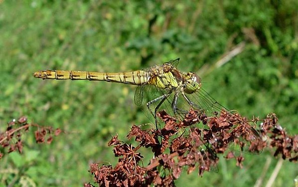 Common Darter - geograph org uk - 222055