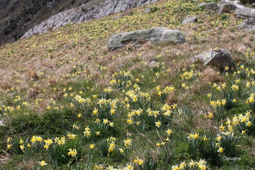 Pyrénées entre printemps et hiver-1 - Du vent dans les jonquilles !
