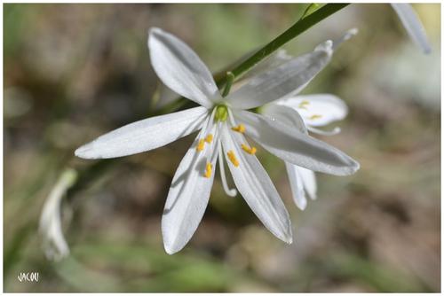 - Phalangère à fleur de lis