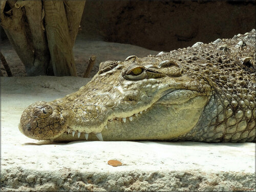 Photos de crocodile du Nil (Zoo de la Palmyre)