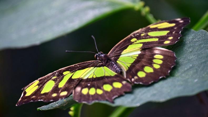 Vert [défi du lundi] papillon