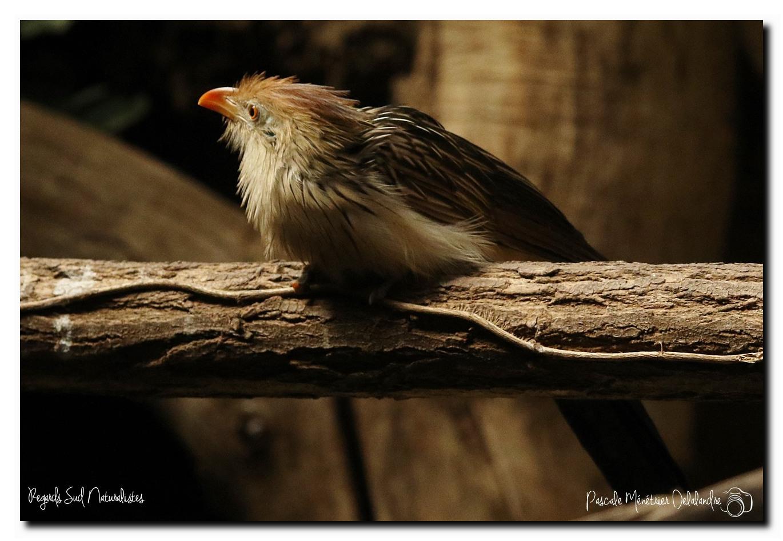 Guira cantara  (Parc animalier des Pyrénées