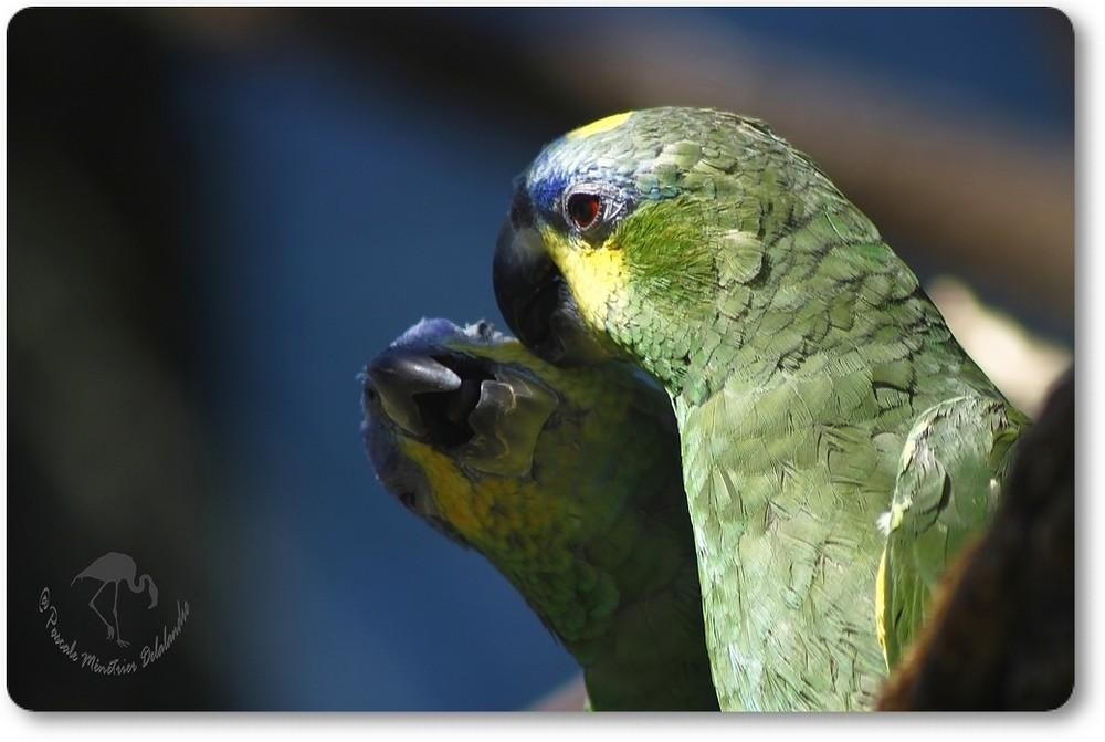Tendresses d'Amazones à ailes orangées...