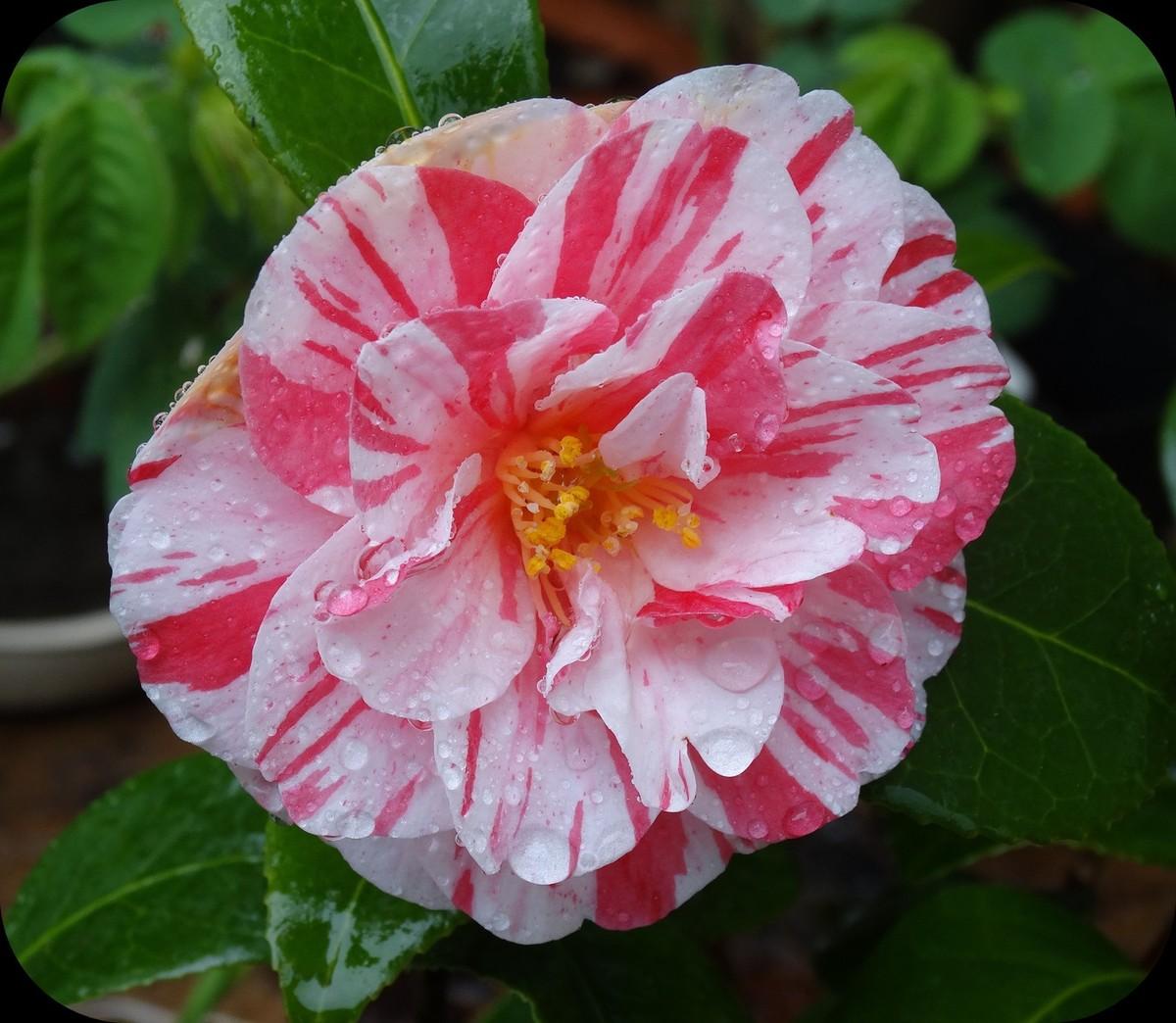 Perles de pluie sur fleur de camélia...