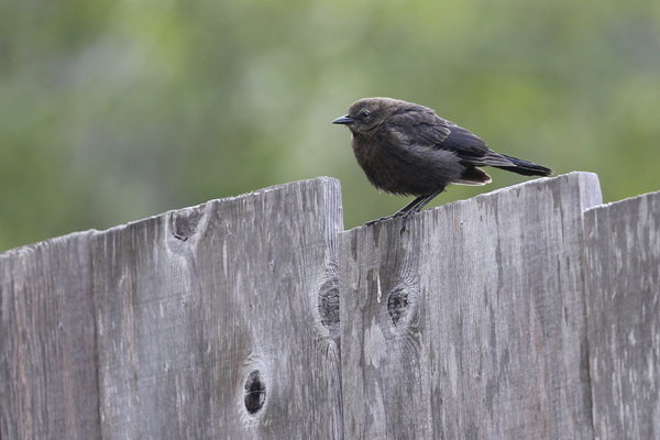Brewer's Blackbird - Little river
