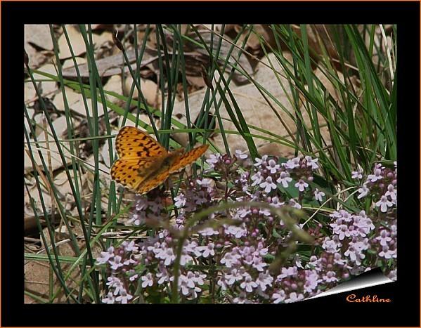 papillon-a-identifier-3.jpg