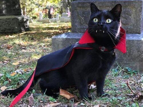 Rien d'anormal chez le chat-vampire Monk