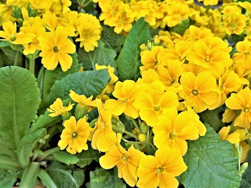Fleurs jaunes du printemps