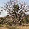 Niger Au bord du fleuve Baobab