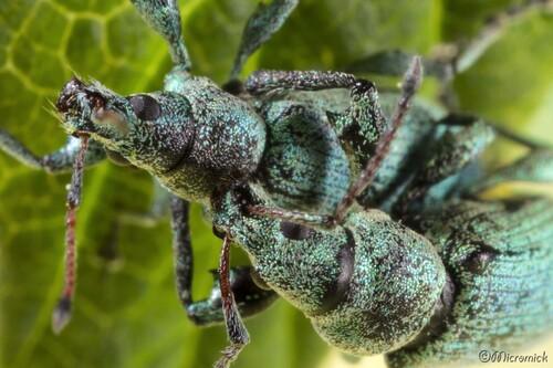 Charançon Phyllobie de l'ortie. (Phyllobius pomaceus ou urticae)