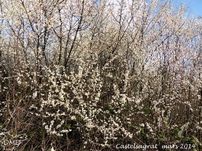 Prunus spinosa  -  prunellier