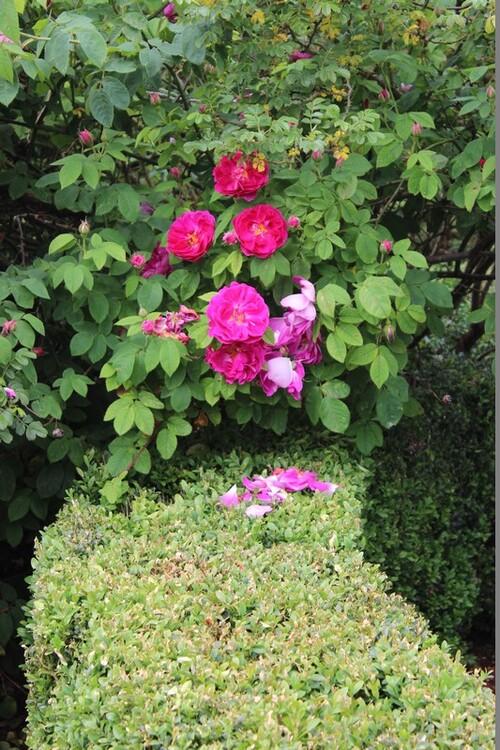 Portes ouvertes du 10,11 et 12 juin 2016: 'Au fil des Roses'- La Rose du Petit Prince   2ème partie