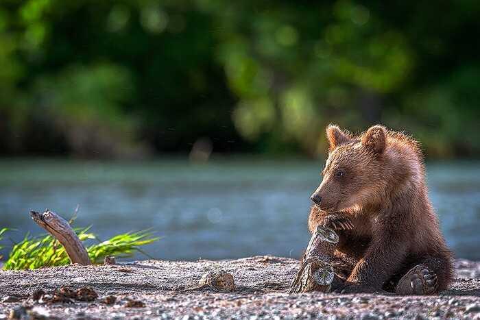 Le charme désagréable des ours du Kamchatka sur les photos de Sergey Ivanov