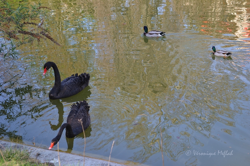 Un couple de Cygnes noirs au parc Montsouris