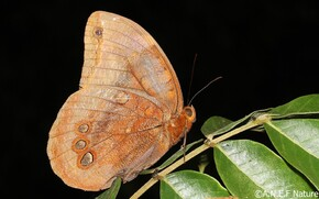 Brassolidae