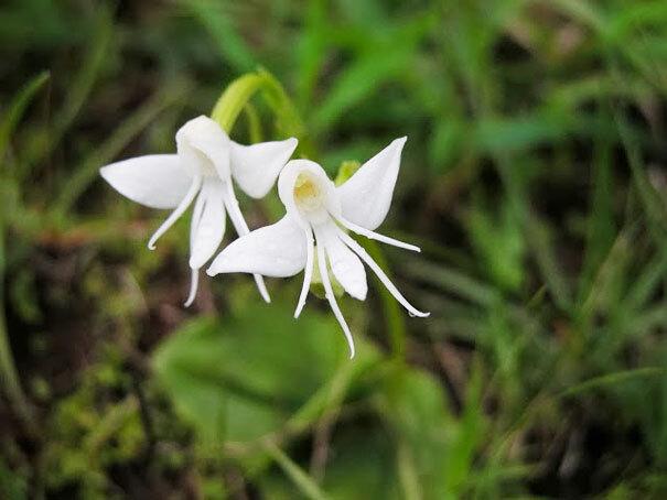 flowers-look-like-animals-people-monkeys-orchids-pareidolia-27