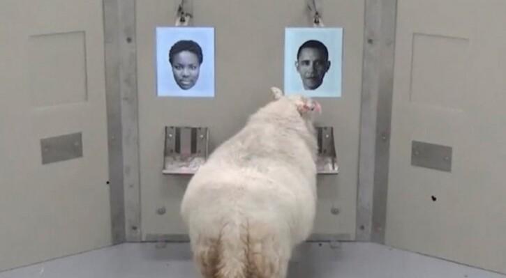 Articles/Photos sur les animaux - 3: Les moutons capables de reconnaître Obama et Emma Watson sur photo