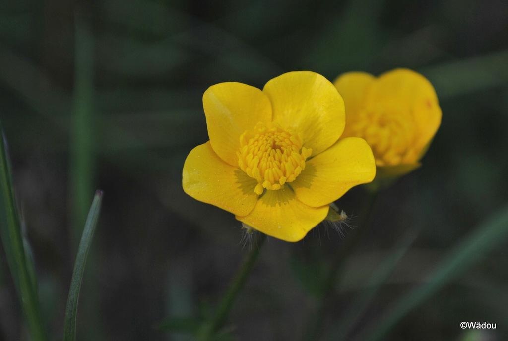 Renoncule âcre (Ranunculus acris) Ranunculaceae