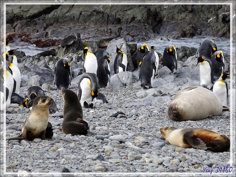 Manchots royaux, Otaries à fourrure antarctique et Eléphants de mer juvéniles accueillent les touristes - Whistle Cove - Fortuna Bay - Géorgie du Sud