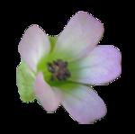 Géranium à feuilles rondes